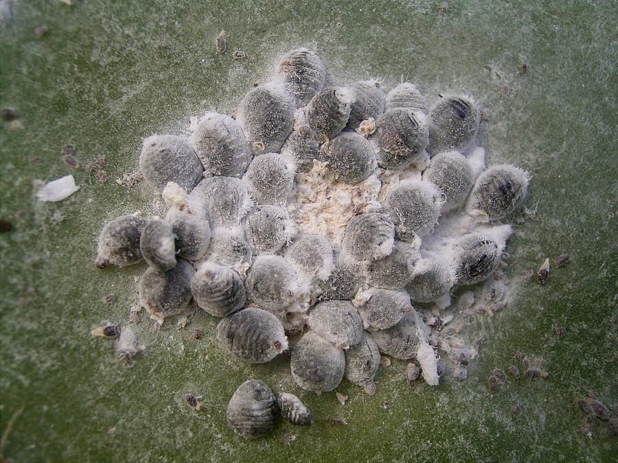 A cluster of female carmine on a cactus Photo by by Frank Vincentz