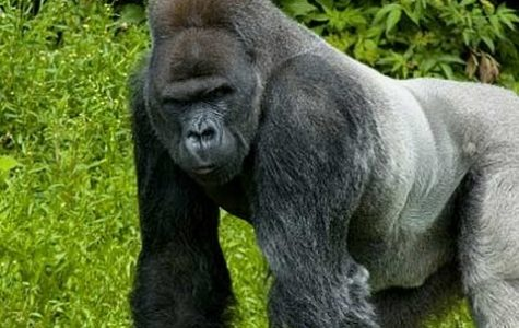 Column: Zookeepers made the right choice in killing the gorilla